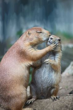 adorable prairie dog kissing another prairie dog