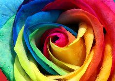 Beautiful Rainbow Rose