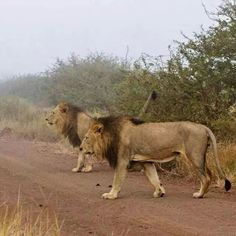 Lions crossing the Road, Kruger National Park, South Africa