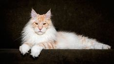 maine-coon-cat-photography-robert-sijka-52-57ad8f15b8efc__880 2