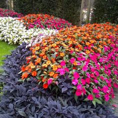 """Impatiens SunPatiens Vigorous Orange and Magenta have a strong, upright habit and grow 24-42"""" tall."""