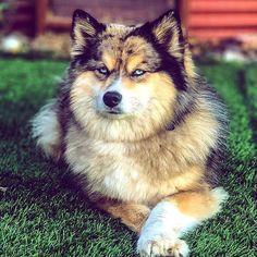Pomsky Puppy Breeder Pomsky Puppies, Northern California, Acacia, Husky, Cute Animals, Dogs, Crafts, Art, Pretty Animals