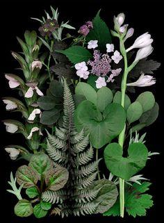 Subdued Combo (cntrclockwise bottom L): Artemisia ludoviciana 'Silver King', Ajuga reptans 'Catlin's Giant', Athyrium niponicum 'Pictum', mottled Geranium phaeum (leaf), Asarum canadense, Cotinus coggygria 'Velvet Cloak', Hosta 'Gold Regal' Flowers, feathery leaves of Cimicifuga (syn. Actea) simplex 'Hillside Black Beauty', Hydrangea serrate 'Grayswood', tiny Geranium phaeum flowers, dark flowers of Nicotiana 'Ken's Coffee', Acanthus hungaricus flower spike.