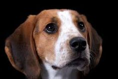 Image result for American English Coonhound