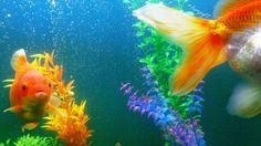 ✧☽ Neeko '4 months old' ☾✧ #bohemefithome #goldfish
