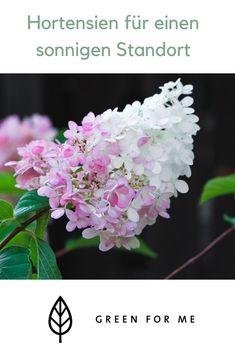 Die meisten kennen Hortensien nur als Schattenpflanze, aber es gibt auch welche die es mit der heißen Mittagssonne aushalten. Erfahre in unserem Blog, welche Hortensie zu deinem Standort passt. Crown, Plants, Blog, Climber Plants, Limelight Hydrangea, Corona, Flora, Blogging, Plant