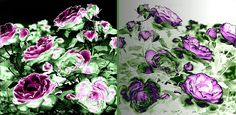 This is absolutely stunning! Beautiful abstract fusion of these gorgeous vintage roses Will