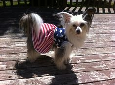 Lelia is a Chinese Crested who is very patriotic