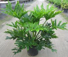 Selloum Philodendron is the common name of this striking tropical plant. The Selloum has very large showy leaves, grows very quickly and is easy to care for. Big Indoor Plants, Big Plants, Free Plants, Exotic Plants, Outdoor Plants, Garden Plants, Bonsai Plants, Water Plants, Cactus Plants