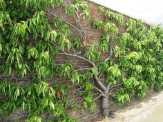 Espalier cherry tree against a wall.