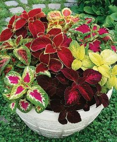 Seeds Coleus Bluma Flowers Mix Flowers for Planting Ukraine Shade Plants Container, Container Flowers, Container Gardening, Gardening Tips, Gardening Books, Gardening Gloves, Garden Yard Ideas, Garden Projects, Garden Pots