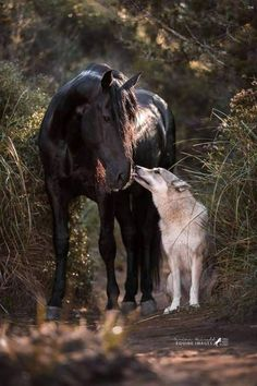 """""""Menorquin Hengst Zahir and the czechoslovak wolfhound louan by Spanish Horse Boutique. Horses And Dogs, Cute Horses, Pretty Horses, Horse Love, Wild Horses, Happy Animals, Animals And Pets, Funny Animals, Cute Animals"""