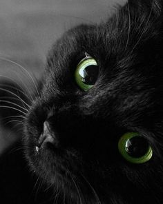 Beautiful Black Cats - 07