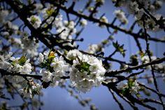 April Blossoms (www.pointshogger.com)