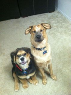 australian cattle dog on the right, golden / bernese mix on left