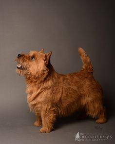 Norwich Terrier Photo Gallery