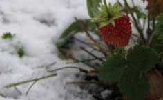 overwintering strawberry plants including information on how to overwinter them in containers