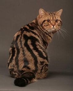 breeder of british shorthair cats in tabby and silver tabby colors Cool Cats, I Love Cats, Crazy Cats, Cute Kittens, American Shorthair Cat, British Shorthair Silver Tabby, Frida Art, British Short Hair, Cutest Animals