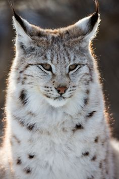 """Glowing Lynx ❁❁❁Thanks, Pinterest Pinners, for stopping by, viewing, re-pinning, & following my boards.  Have a beautiful day! ❁❁❁ **<>**✮✮""""Feel free to share on Pinterest""""✮✮"""" #animals#gifts www.catsandme.com"""
