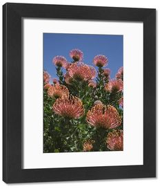 inch mm) wooden frame with digital mat and print (other products available) - Pincushion protea (Leucospermum cordifolium), Kirstenbosch Botanical Gardens, Cape Town, South Africa, Africa - Image supplied by WorldInPrint - Framed Print made in the USA Poster Prints, Framed Prints, Canvas Prints, Protea Art, Cape Town, Pin Cushions, Botanical Gardens, Photo Gifts, Fine Art Prints
