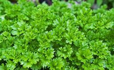 2000 pcs/Bag Mini Sementes Wrinkled Leaf Parsley Seeds Marseed Outdoor Home Gardening Planting Seeds Herbal Remedies, Home Remedies, Natural Remedies, Medicinal Weeds, Easy Herbs To Grow, Toenail Fungus Treatment, Herbal Plants, Garden Art, Diet