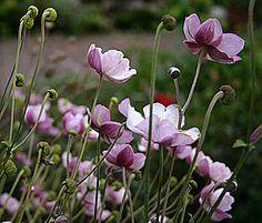 höstanemon, trivs i skuggigt läge Shade Garden, Garden Plants, Forest Garden, Floral Photography, My Secret Garden, Gardening For Beginners, Garden Landscaping, Landscaping Ideas, Dream Garden