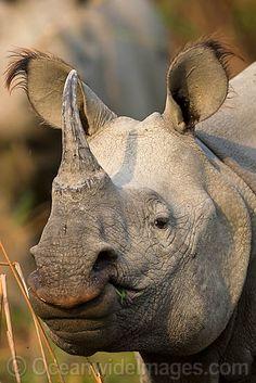 Indian Rhinoceros - also known as the Great One-Horned Rhinoceros, (Rhinoceros Unicornis).