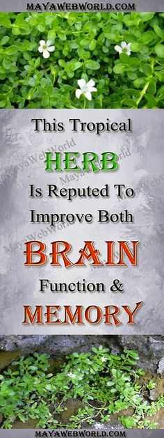 This Tropical Herb Is Reputed To Improve Both Brain Function And Memory! – MayaWebWorld