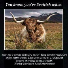Scottish Cow, Scottish Quotes, Scottish Gaelic, Scottish Highlands, Scottish People, Scotland National Flower, Scotland History, Cow Face, Highland Cattle