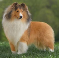 Summerlove Shelties - Home Page Sheep Dogs, Rough Collie, Laundry Hacks, Happy Puppy, Shetland Sheepdog, Puppy Pictures, Sheltie, Akita, German Shepherd Dogs