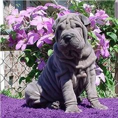 This is the best pin ever. I love Shar Pei's lavender shar pe <3 #ghdpastels