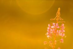 Fireweed on Fire by Carl Alexander Hopland on 500px