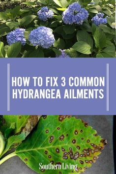 Wrong With My Hydrangea? Click ahead to find out how you can keep your hydrangeas thriving and healthy!Click ahead to find out how you can keep your hydrangeas thriving and healthy! Garden Yard Ideas, Lawn And Garden, Garden Landscaping, Indoor Garden, Hydrangea Landscaping, Landscaping Ideas, Garden Projects, Gardening For Beginners, Gardening Tips