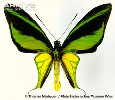 View a slideshow of photos of the Birdwing butterfly
