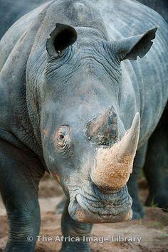White rhinoceros (Ceratotherium simum), Sabi Sands, Greater Kruger National Park, South Africa