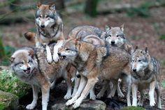 Pelaje en la lenguaje corporal de los lobos