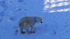 連北極熊大哥都出來說哈囉了!— 在 Rovaniemi, Lapland 。