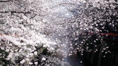 Frenchtrotters Tokyo Sakura