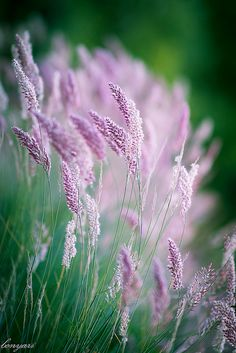 Grass... pink and pretty! ~ Photo by Tuan on Flickr