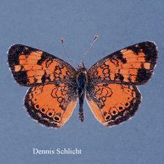Phyciodes tharos (Dennis Schlicht)