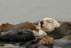 This sleeping Sea Otter is wrapped in the growing kelp which allows her to relax and not be carried off by the tide. That's the rear paw of her sleeping companion in the foreground.