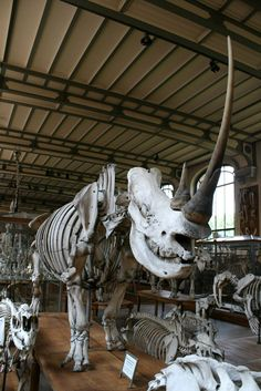 Rhino skeleton at Gallery of Paleontology and Comparative Anatomy in Paris