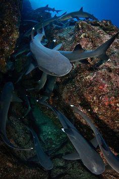 Image result for whitetip reef shark