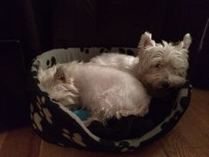 Mum there's a Westie in my bed!!!