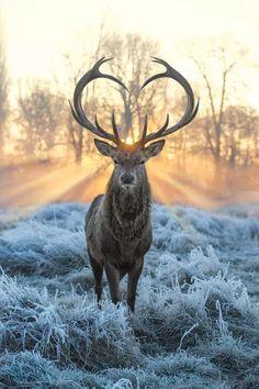 Deer Photos, Deer Pictures, Animal Pictures, Cthulhu, Animals Beautiful, Cute Animals, Hirsch Tattoo, Deer Wallpaper, Wallpaper Backgrounds