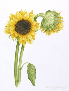 Sunflowers #1, watercolor on paper, ©2001 Kate Dickerson