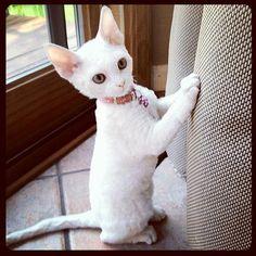 Ozarks Devon Rex - Hypoallergenic Kittens | ABOUT