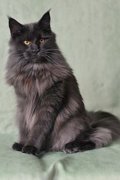maine coon   Maine Coon - InfoVeto