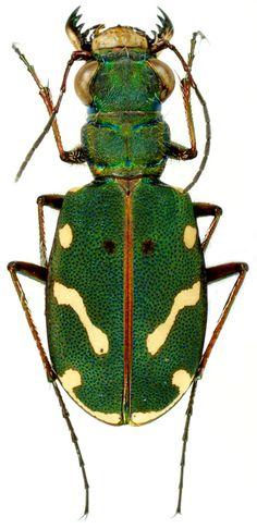 Cicindelidae - Pesquisa Google