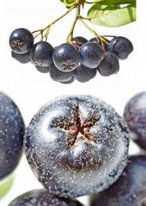 Do you want a super fruit that is super easy to grow? Aronia berries are exactly what you are looking for. Also known as chokeberry, this small shrub is Container Gardening Vegetables, Vegetable Garden, Aronia Berry Recipes, Small Shrubs, Berries, Watercolor Painting, Cake Recipes, Yard, Tips